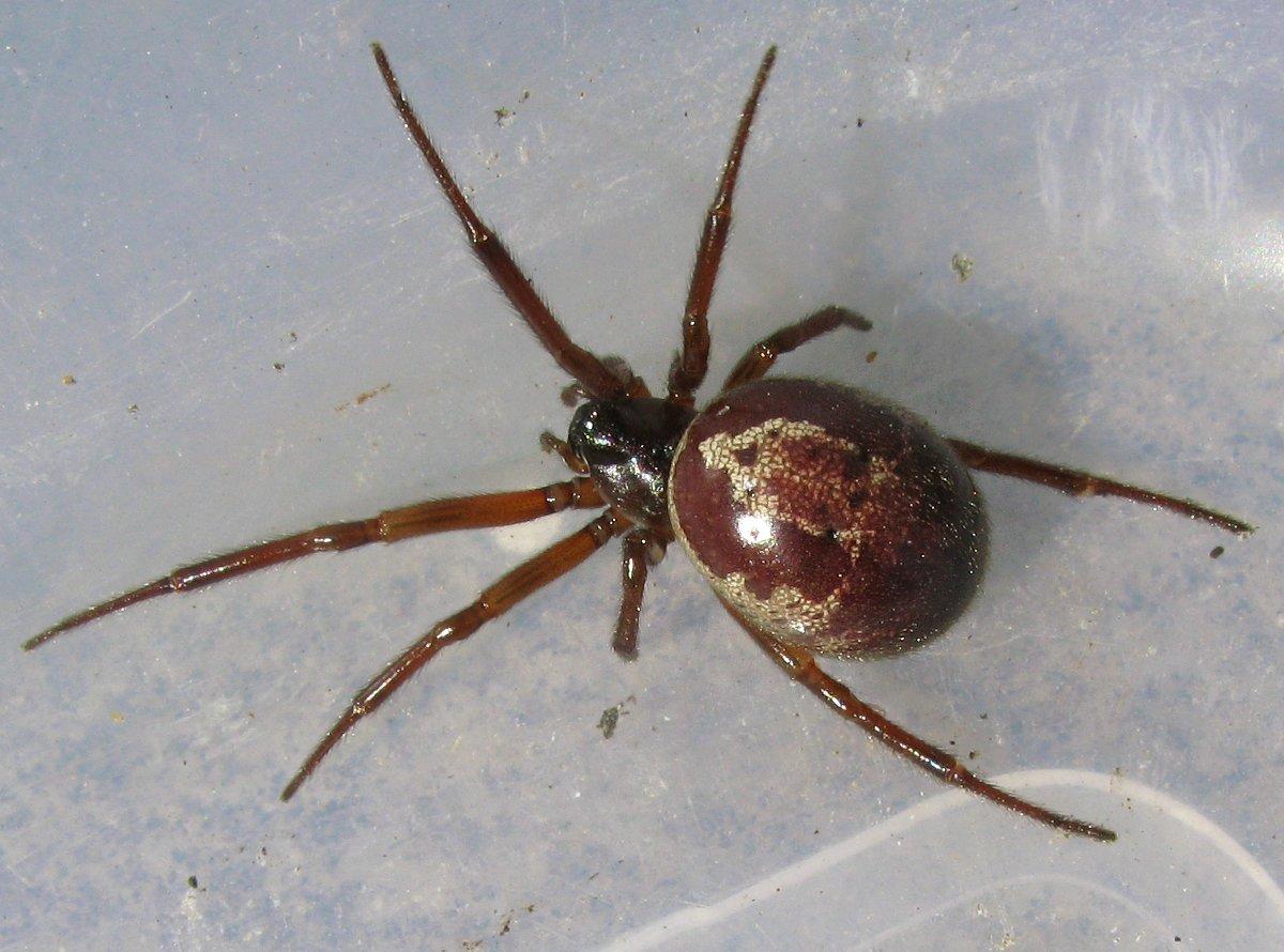 """Résultat de recherche d'images pour """"stadera nobilis araignée"""""""